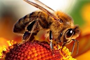 Méh - méhméreg